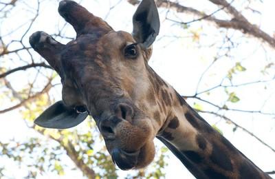 <攝影黃華動物野生動物長頸鹿高清壁紙