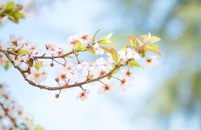 小清新櫻花花卉植物清新