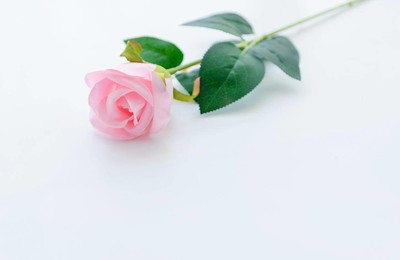 <小清新清新淡雅玫瑰花粉玫瑰高清壁纸