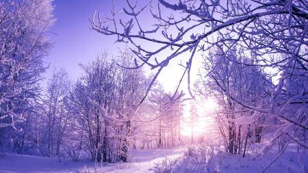 阳光下白雪覆盖的树木